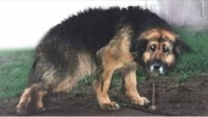 Nemocný pes byl 10 let uvázaný na řetězu. Sledujte okamžik vysvobození.