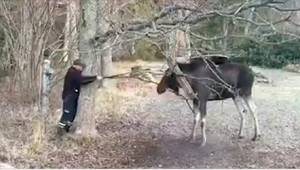 Když uviděl obrovského losa, po zádech mu běhal mráz, ale o několik vteřin pozdě