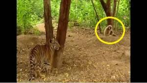 Gibbon versus 2 tygři. To nejlegračnější video, jaké dnes uvidíte!