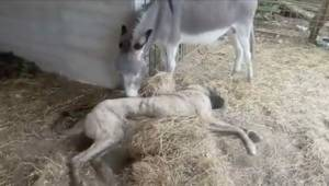 Nemocná fenka nikoho nezajímala až do okamžiku, kdy… ji adoptoval osel z farmy!