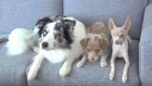 3 psi sedí na gauči. Sledujte, co udělají.