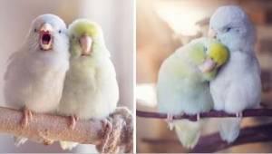 Krásné fotografie, které zachycují lásku 2 papoušků. Záběry vás zahřejí u srdce!