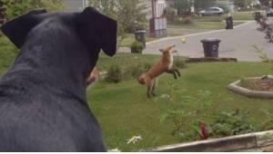 Žárlivý pes sleduje lišku jak si hraje s jeho hračkou v zahradě. Jeho reakce nem