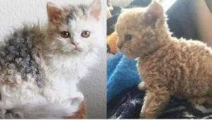 """Kočičí """"pudlíci"""" jsou hitem internetu! Viděli jste někdy takovou kočku?"""