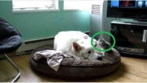Pes chce spát, ale koťátko má jiné plány. Toto video vyvolává úsměv.
