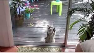 Mýval začal otloukat kámen o její prosklené dveře. Důvod? Neuvěříte!
