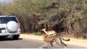 Dva hladoví gepardi pronásledovali antilopu. Turistů překvapilo to, co se stalo